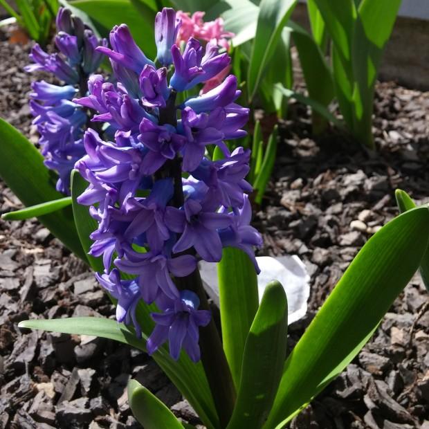 hyacinth-1