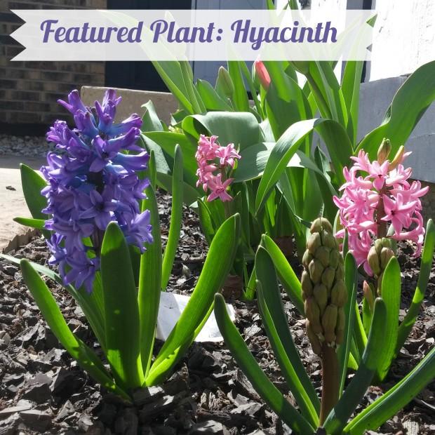 hyacinth-title-photo
