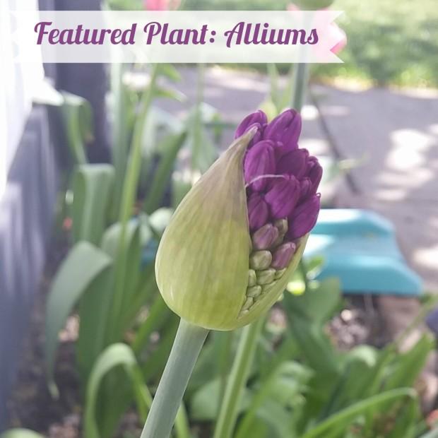 allium-title-photo