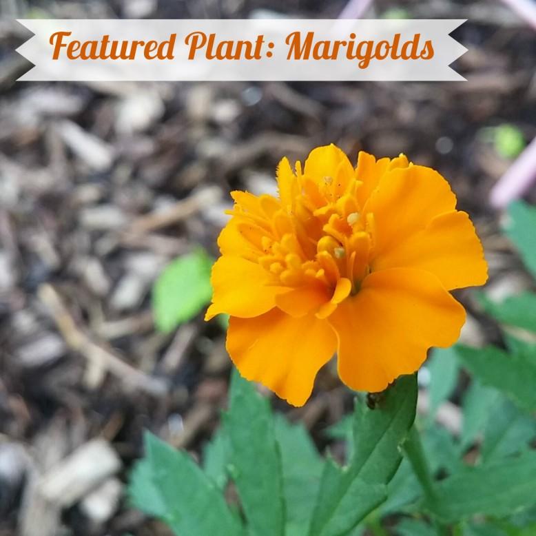 marigold-title-photo