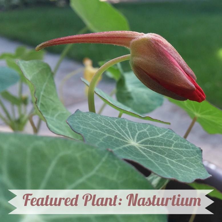 nasturtium-title-photo