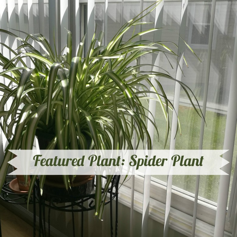 spider-plant-title-photo