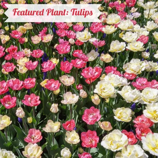 Tulip title photo.jpg
